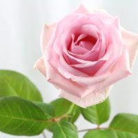 Rose (rosa)