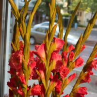 Gladiole (rot)
