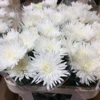 Chrysantheme 'Anastasia' (weiß)