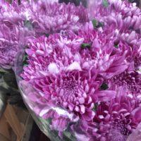 Chrysantheme 'Anastacie' (lila)