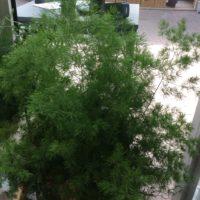 Asperagus plumosus