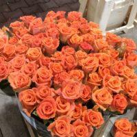Rose (orange)