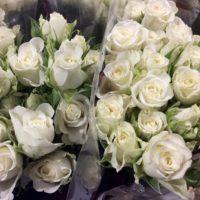 Polyantha - Rose
