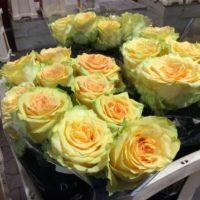 Rose 'Brasil'
