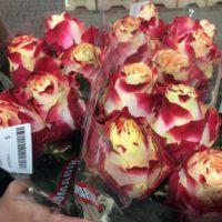 Rose 'Aubade'