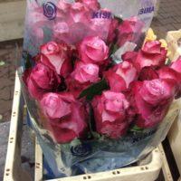 Rose 'Aubade' (rosa)