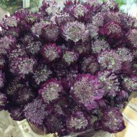 Astrantia lila