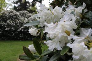 großblütiger Rhododendron in weiß