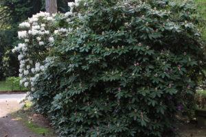 Weiß und violett blühende Rhododendren