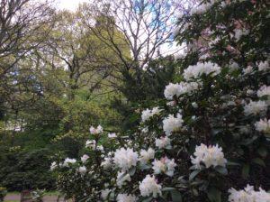 weiße Rhododendron im Hintergrund das Völkerschlachtdenkmal