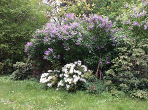 lila Flieder über einen weißen Rhododendron