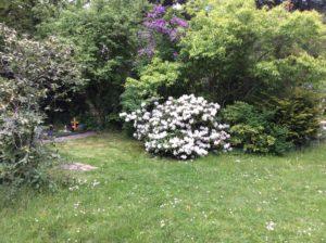 Weißer Rhododendron auf dem Südfriedhof Leipzig