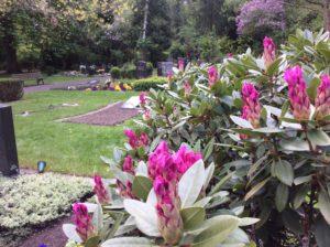 Rhododendron kurz vor der Blüte
