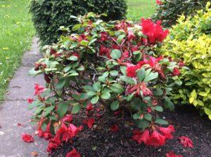 rotblühende Rhododendron Südfriedhof Leipzig