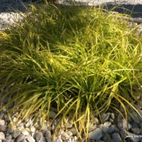 Unsere Pflanzen - Rahmengehölz